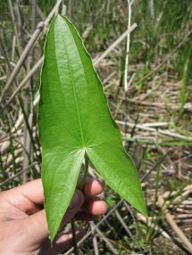 Saggitaria latifolia (common arrowhead)