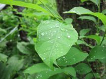 Lindera benzoin (spicebush)