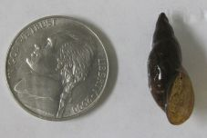 Stagnicola elodes (marsh pondsnail)