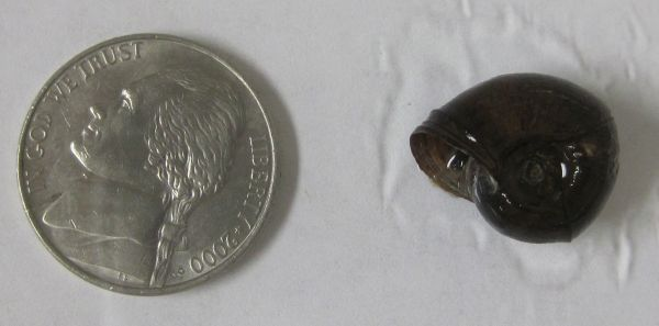 Helisoma trivolvis (Ramshorn snail)