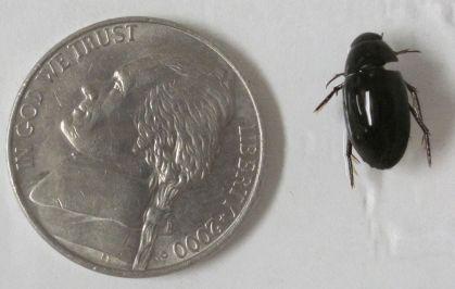 Hydrophilidae (water scavenger beetle)