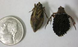 Belastomatidae (giant water beetle)