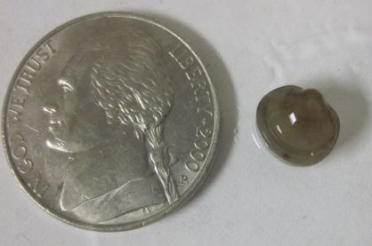 Sphaeriidae (fingernail clam)