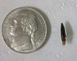 Hydrophilidae larva (water scavenger beetle)