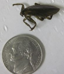 Lethocerus (giant water bug)