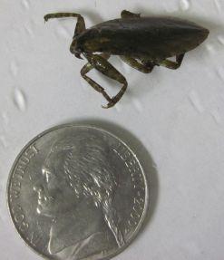 Lethocerus (giant water bug)
