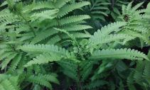 What insect is living in these cinnamon fern fronds?
