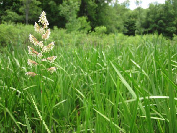 The invasive reed canary grass (Phalaris arundinacea) against a backdrop of sweet flag (Acorus calamus).
