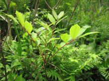 Poison sumac (Toxicodendron vernix).