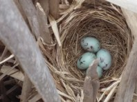 Red-winged blackbird nest.
