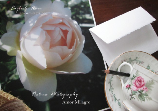 English Rose Nature Photography Art Print Greeting Card Amor Milagre amormilagre.com 1