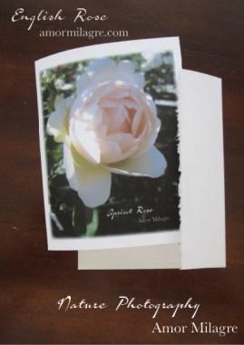 English Rose Apricot Nature Photography Greeting Card Stationery Amor Milagre amormilagre.com