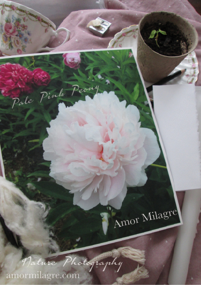 Pale Pink Peony Nature Photography Art Print Greeting Card Amor Milagre amormilagre.com