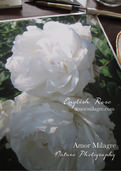 White English Rose Nature Photography Art Print Greeting Card Amor Milagre 3 amormilagre.com