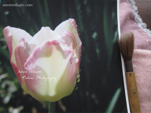 Amor Milagre Dewdrop Pink Tulip Garden Photography Art Print amormilagre.com 1