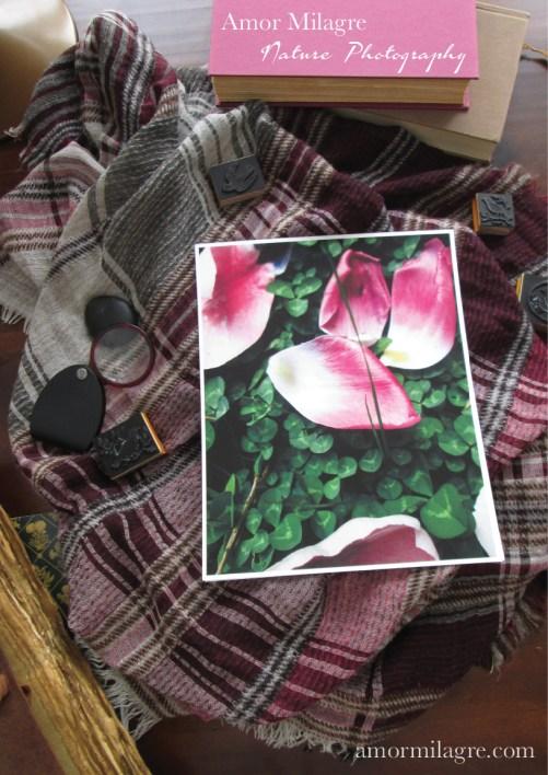 Amor Milagre Fallen Pink Tulip Petals Flower Nature Photography 1 amormilagre.com