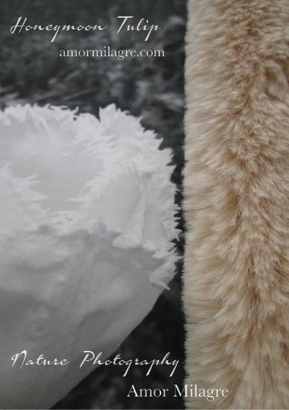 White Fringed Honeymoon Tulip Garden Photography 1 Art Print Amor Milagre amormilagre.com