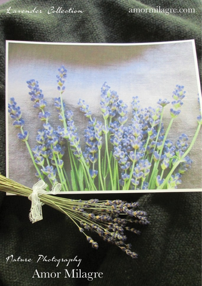 Amor Milagre French Lavender Collection Nature Flower Photography Art Print amormilagre.com 3
