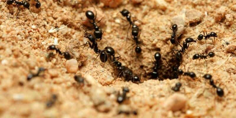 How To Treat Ant Bites Naturally Get Rid Of Ant Beds