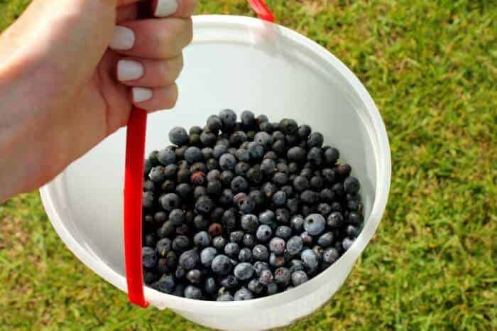 Here's an easy way to pick blueberries and freeze then so you can use them to bake year round!