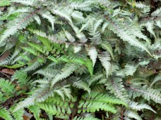 Japanese painted fern, May 2007