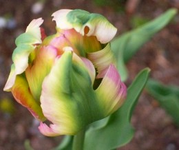 Green Wave Parrot tulip, May 2008