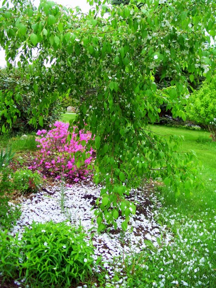 Weeping 'Red Jade' crabapple with blossoms, July 2013