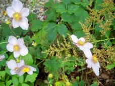 anemone tormentosa, in garden, Oct 2012