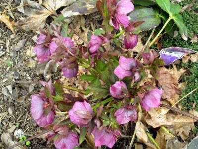 hellebore in full bloom 5 may 2014