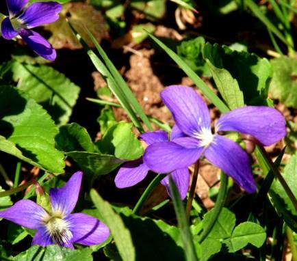 violets, 11 May 2014