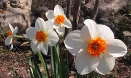 daffodils, 11 May 2014