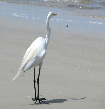 great egret St. Andrews, Jekyll Island