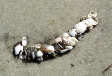 plume worm tube - St. Andrews, Jekyll Island