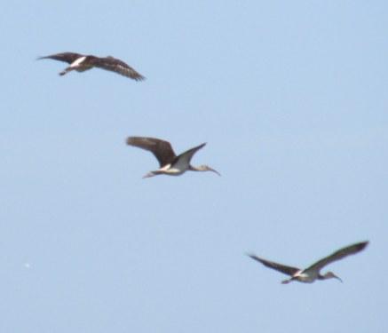 woodstorks in flight, Jekyll Island