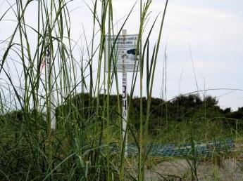 turtle nest 34, in dune among grasses - Jekyll Island