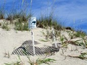 turtle nest 3 - South Dunes, Jekyll Island