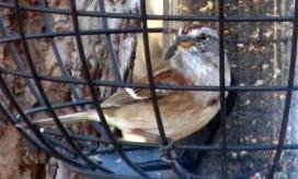 Americantreesparrowinfeeder22Nov2014