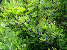 blueberriesbKHNP10Aug2014