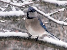 blue jay in tree during snowstorm, 30 Jan 2015