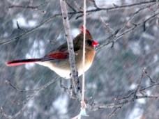 female cardinal in apple tree in snow, 27 Jan 2015
