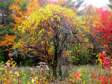 treecoveredinbittersweetkhnp10Oct2014