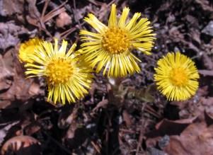 coltsfoot (Tussilago farfara) in bloom