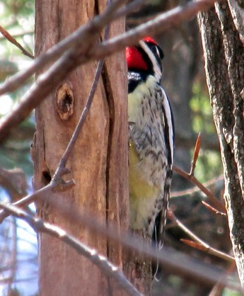 yellow-bellied sapsucker with yellow belly visible