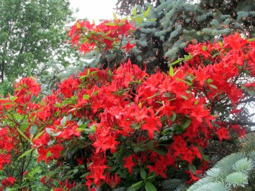 red-orange azalea