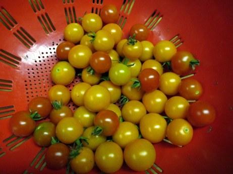 tomatoharvest10Aug2015