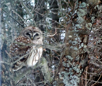 barred owl in apple tree, March 2013