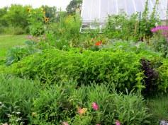 basil, sage, et al. by greenhouse, Aug. 2014