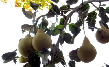 bosc pears, Oct. 2015