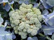 broccoli, Aug. 2014