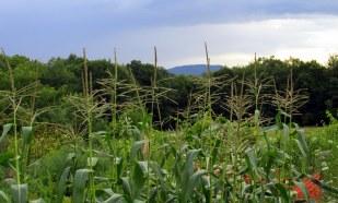 corn, Aug. 2014